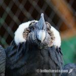 コチャワシ動物保護園のコンドル