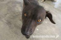 ペルーの無毛犬
