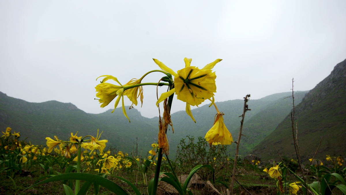アマンカイの花