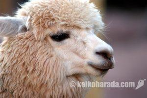 ペルー産アルパカ 世界一細い毛でギネス認定