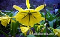 アマンカエス 花