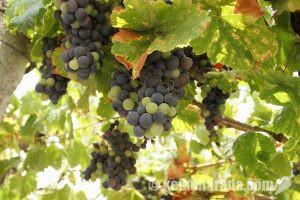 サライ.jp ペルーが誇るブドウの蒸留酒ピスコ