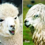 8月1日はアルパカの日 巻き毛と直毛がいます