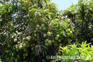 ペルーは世界第3位のマンゴー輸出国
