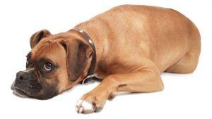 土佐犬などに対人賠償保険義務付けを検討