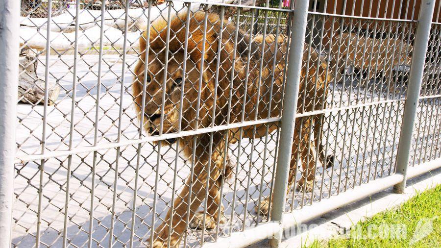 ラス・レジェンダス公園のライオン