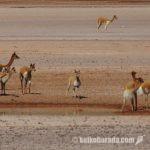ビクーニャ密猟阻止へ対策協議会設置