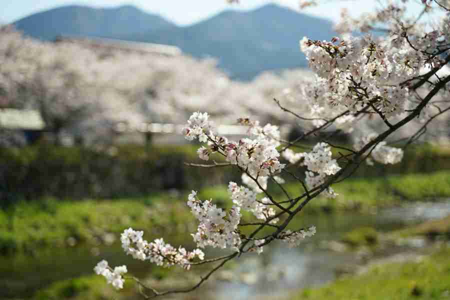 津和野の桜