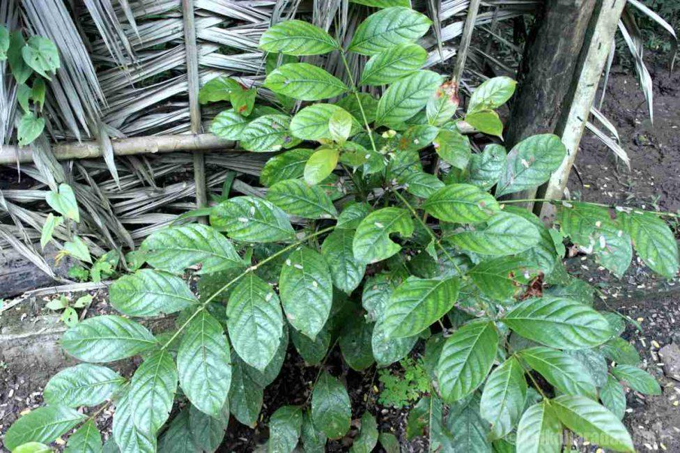 ウニャ・デ・ガトの葉
