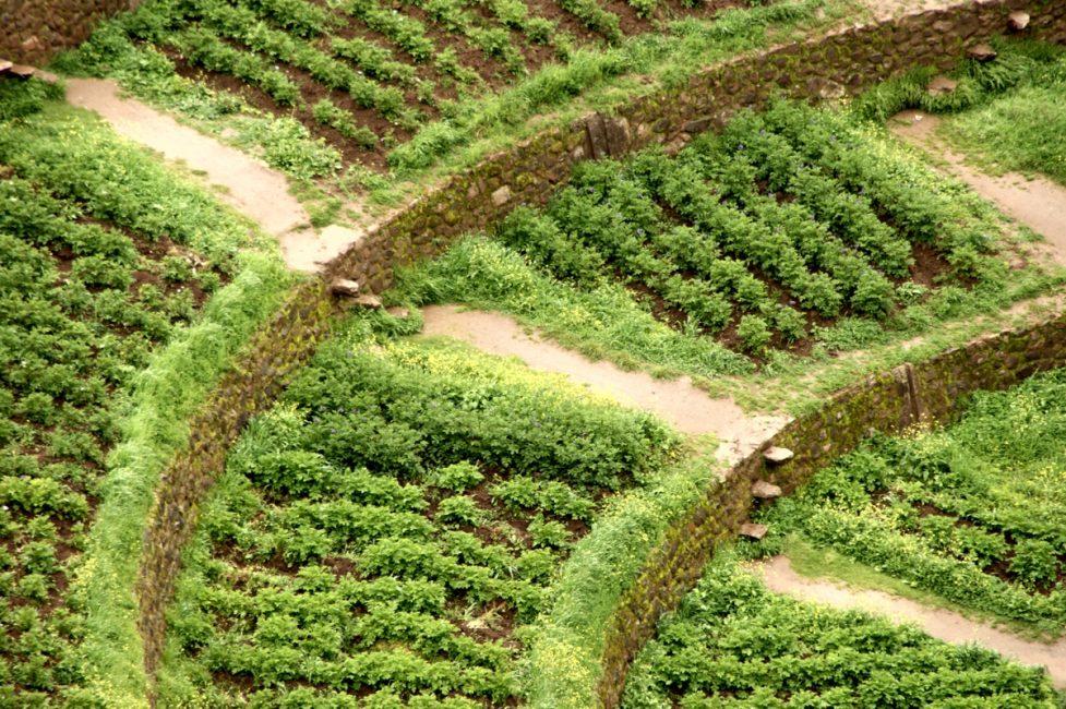 モライ遺跡内の試験栽培