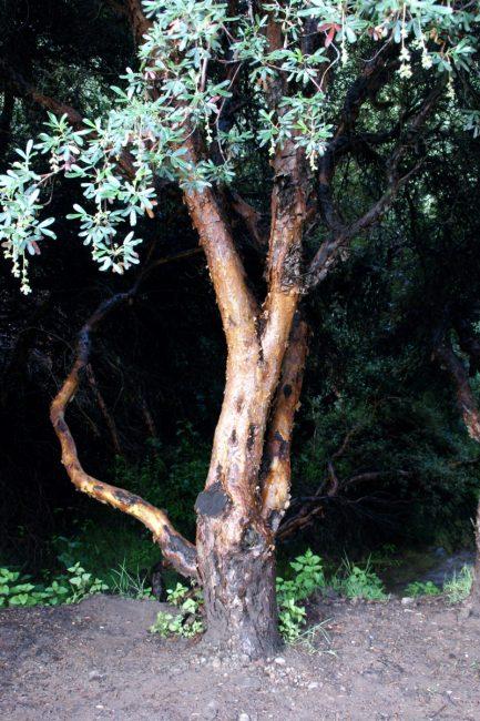 キーナの木