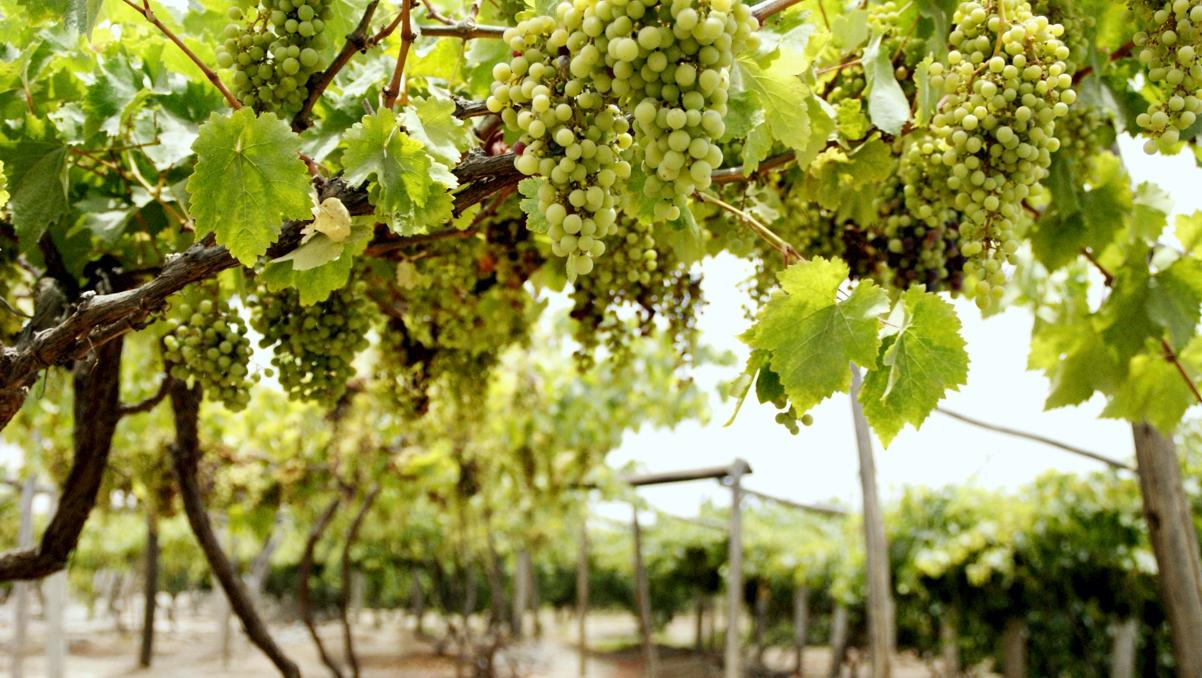 ピスコ醸造所のブドウ農園